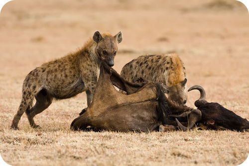 This antelope being eaten by hyenas won't become a fossil