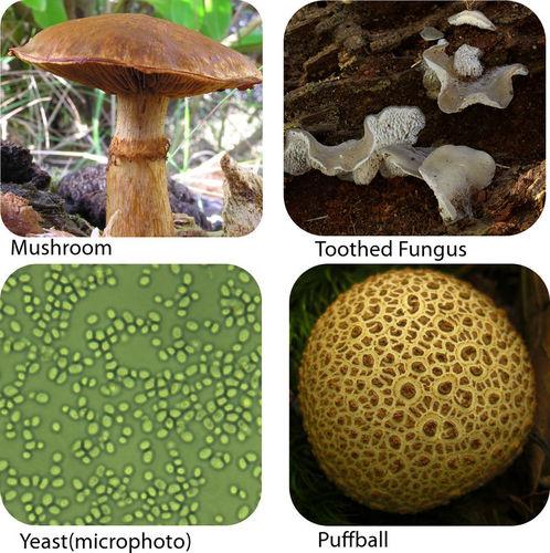 Fungi Ck 12 Foundation