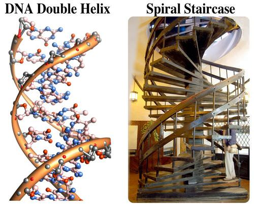 Compares the shape of a DNA molecule with a spiral staircase