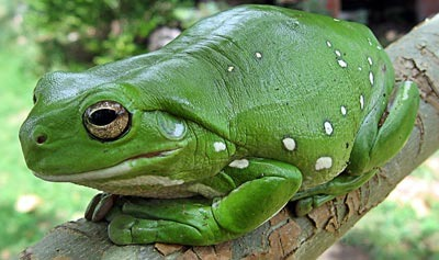 Amphibian Classification Discussion Questions