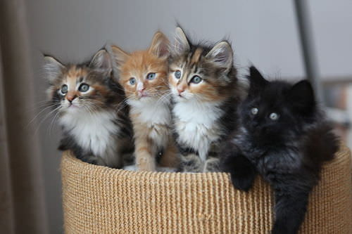 Kittens are produced through sexual reproduction