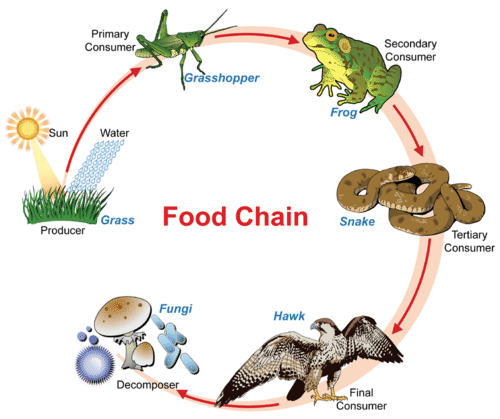 the effects of predators on different kinds of ecosystems Predators have profound effects throughout their ecosystems dispersing rich nutrients and seeds from foraging, they influence the structure of ecosystems and, by controlling the distribution, abundance, and diversity of their prey, they regulate lower species in the food chain, an effect known as trophic cascades.