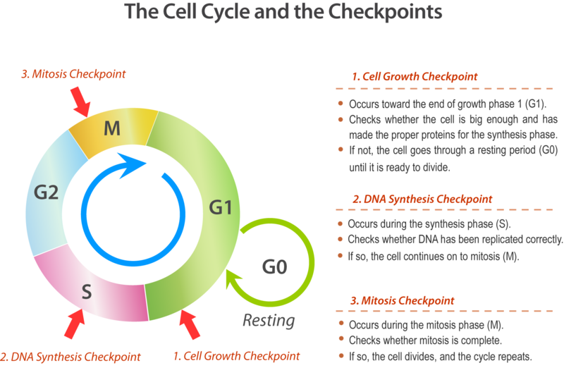 Cell Division And The Cell Cycle Ck 12 Foundation