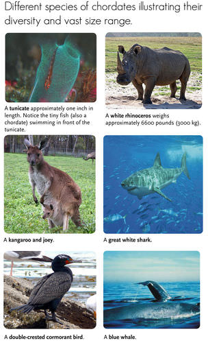 Diversity of chordates: Tunicate, Rhinoceros, Kangaroo, Shark, Cormorant, Whale