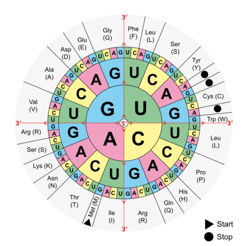 Translating the genetic code