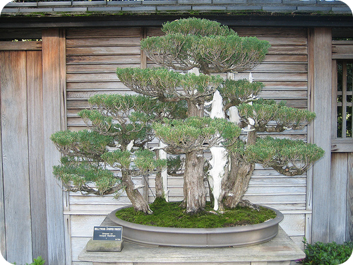 Dwarf plants like this bonsai tree often have unusually low concentrations of gibberellins