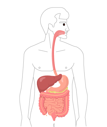 Digestive System Organs *less complex