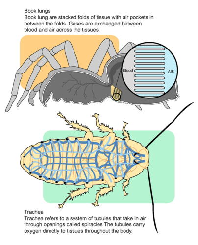 How terrestrial arthropods breathe air
