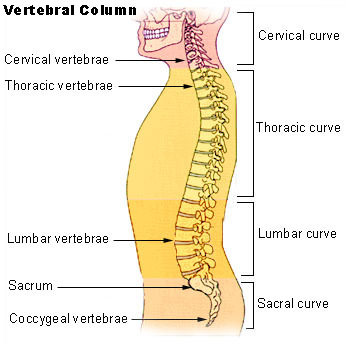 The joints between your vertebrae are only partially movable