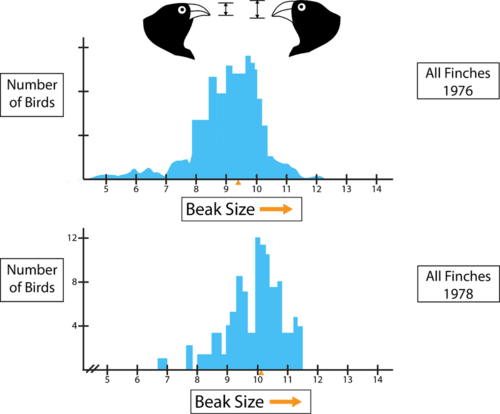 Evolution of beak size in Galapagos finches