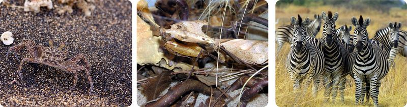 Camouflage in crabs and preying mantis