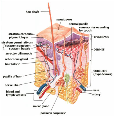 Illustration of the layers of skin