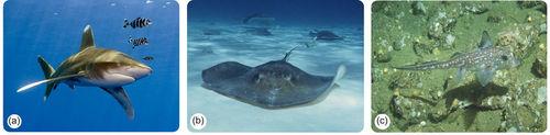 Cartilaginous fish
