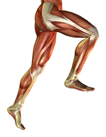 Your muscle fibers are made mostly of protein