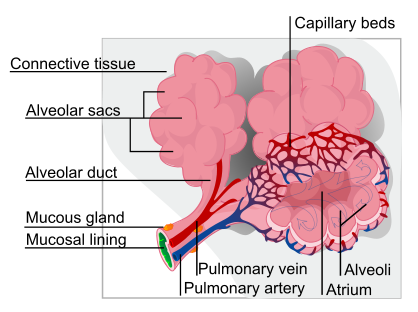Air exchange occurs at the grape-like alveoli