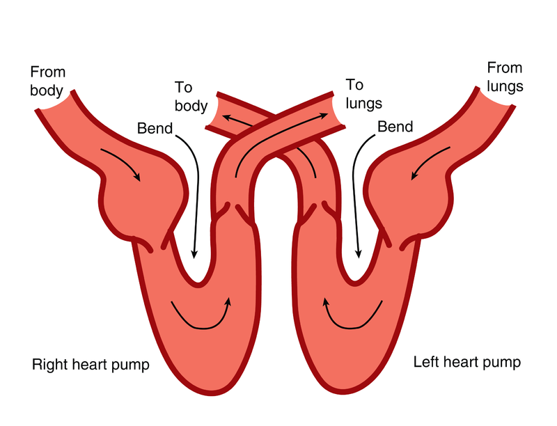 The heart ck 12 foundation figure 219 here are the two pumps in the human heart separated the arrows show the directions of blood flow ccuart Gallery