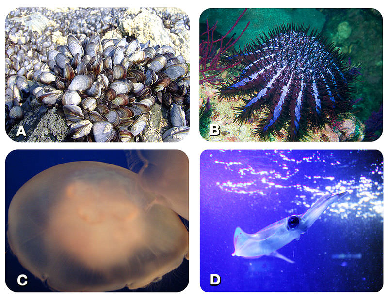 Picture of mussels, a sea star, moon jelly, and squid