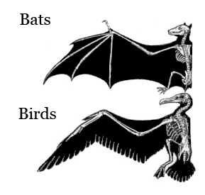 Wings of bats and birds are analogous structures