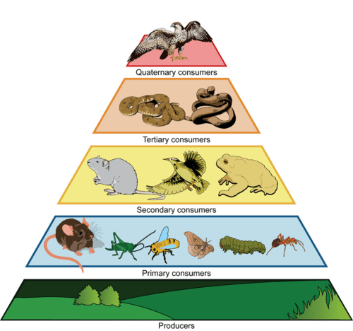 Trophic levels in an ecological pyramid