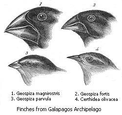 Drawing of Darwin's finches
