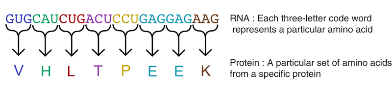 RNA codon and protein sequence
