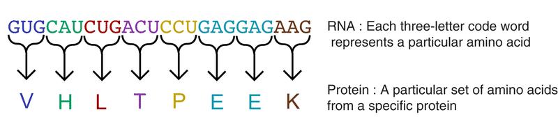 Nucleic Acids Read Biology – Nucleic Acid Worksheet