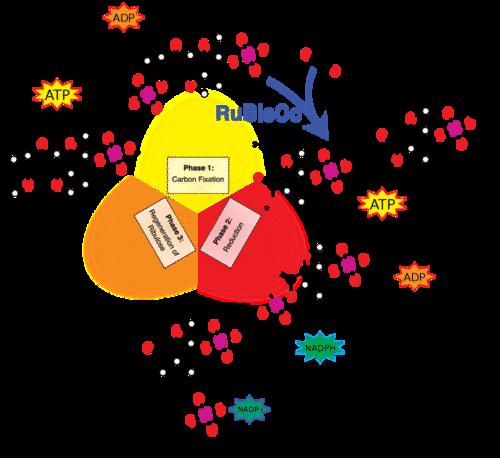 Calvin Cycle Read Biology – Calvin Cycle Worksheet