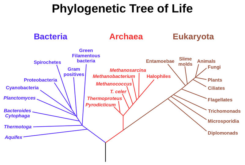 The phylogenetic tree of life