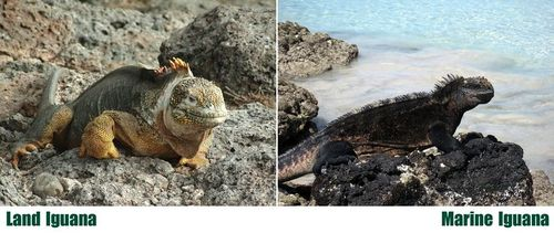 Land and marine iguanas on the Galapagos Islands
