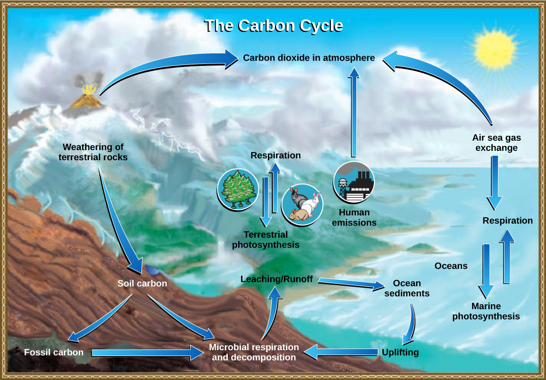 photosynthesis converts carbon dioxide gas to organic carbon and respiration cycles the organic carbon back into carbon dioxide