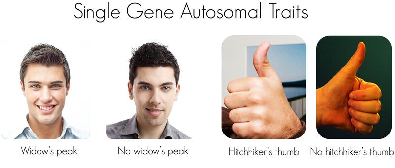 Widow's peak and hitchhiker's thumb are dominant traits