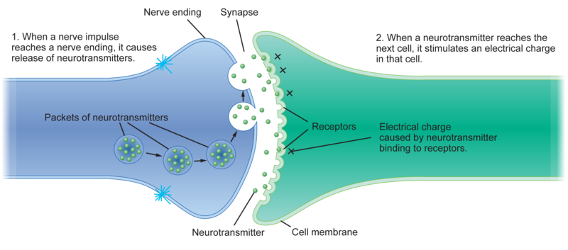 an introduction to the chemicals that communicate between nerves neurotransmitters A special type of paracrine communication is that between cells in the nervous system here, nerve cells (neurons) secrete neurotransmitters, such as acetylcholine, that travel 13 methods of communication between cells 5.