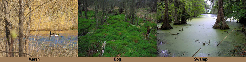 Pictures of a marsh, bog, and swamp, which are three types of wetlands