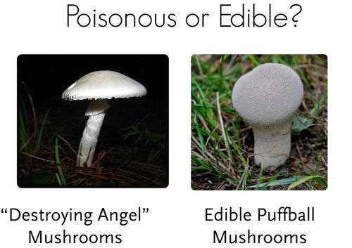 Toxic destroying angel mushroom compared to edible puffball mushroom