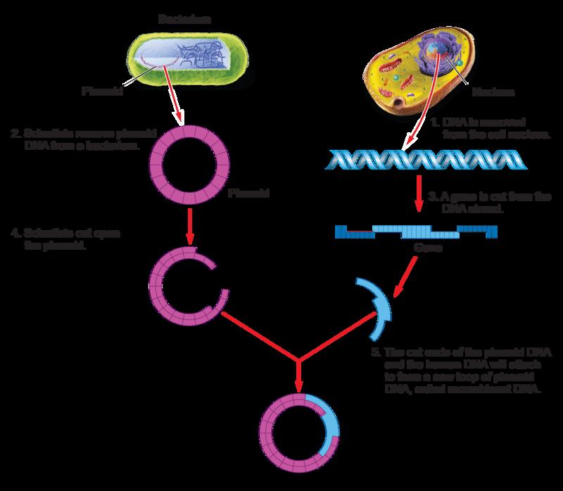 Genetic Engineering | CK-12 Foundation
