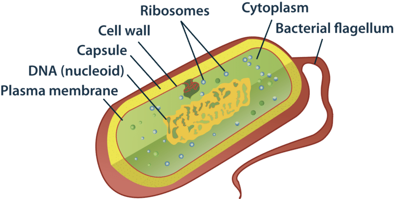 Why Do Prokaryotic Cells Have Cell Wall 10312953 Meritnation