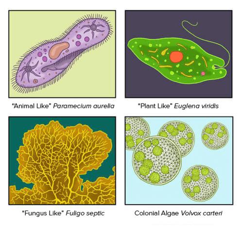 Protozoans Algae /& Other Protists
