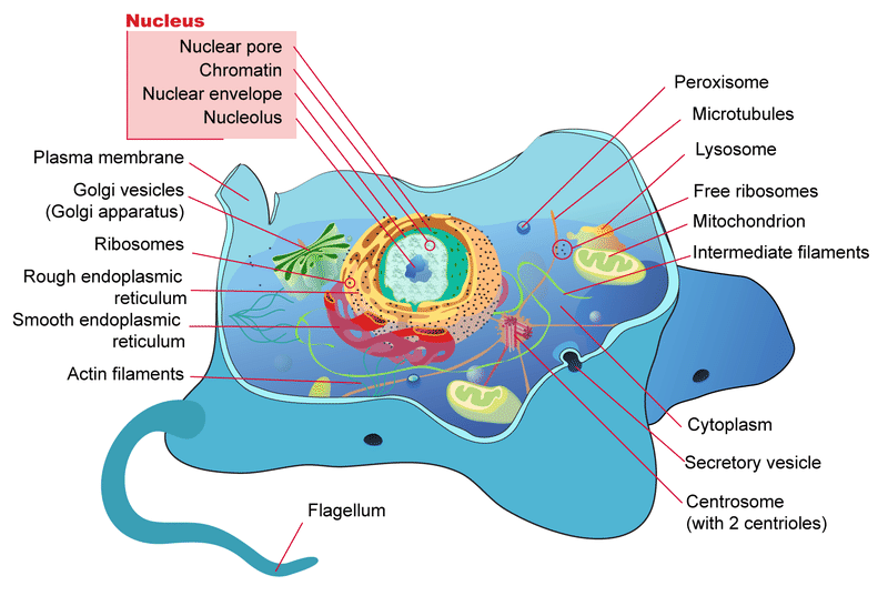 Prokaryotic and eukaryotic cells read biology ck 12 foundation a diagram of the parts of a typical eukaryotic cell ccuart Images