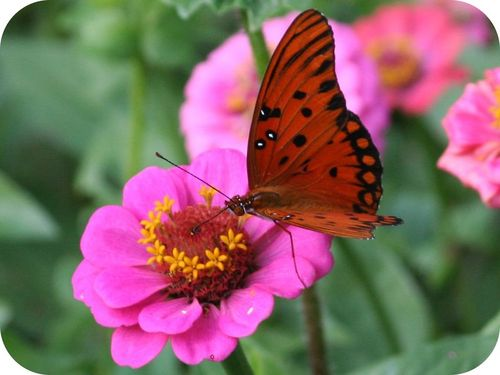 Butterflies cross-pollinate flowers