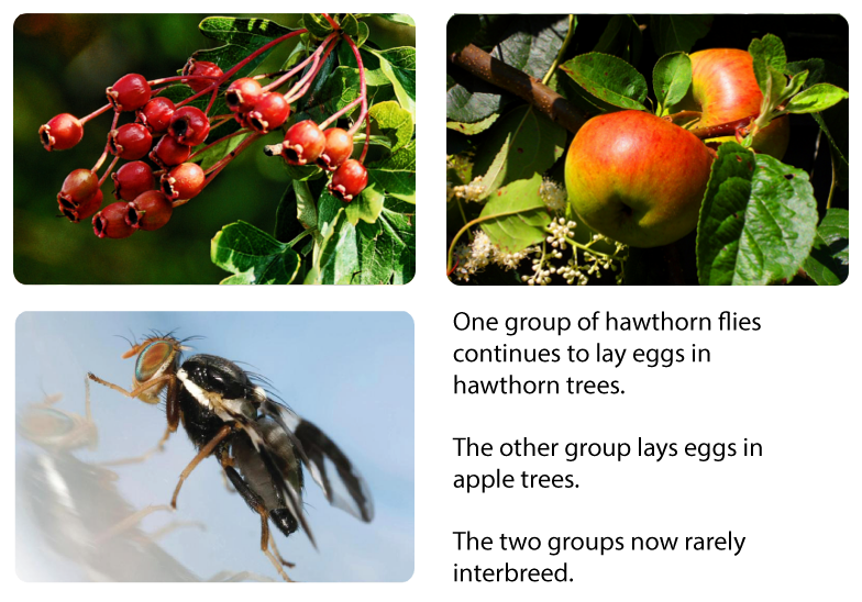 Sympatric speciation in Hawthorn flies