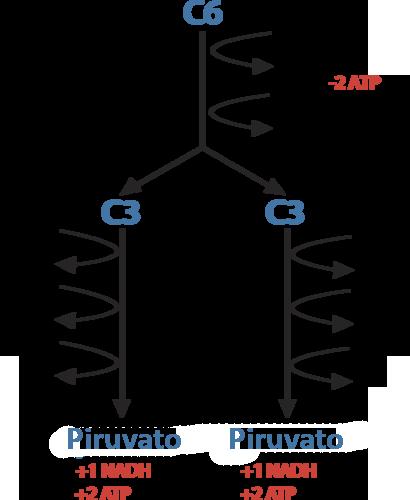 Glucólisis | CK-12 Foundation