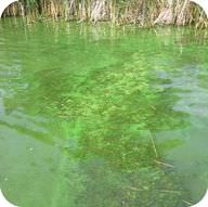 Nutrients in fertilizer cause an algal bloom