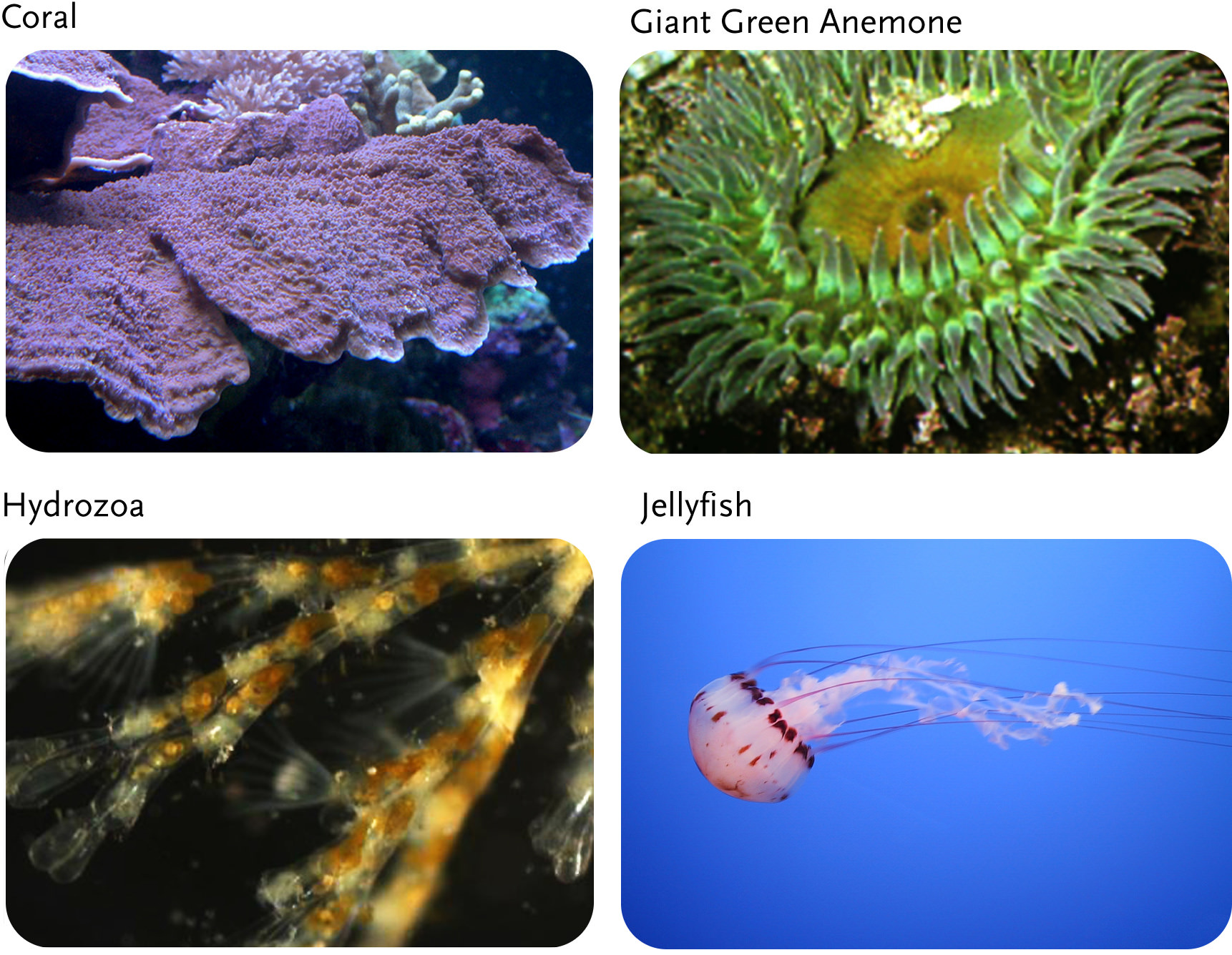 Flatworms And Cnidarians Sponges, Cnidarians, F...