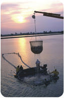 Workers harvest catfish from a fish farm in Mississippi