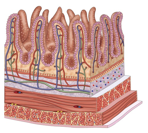 Small Intestine Read Biology Ck 12 Foundation