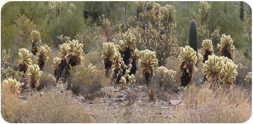 These cacti are dispersed due to competition for water