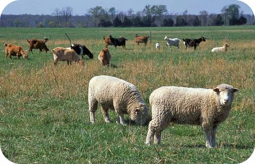 Sheep and goats can overgraze and cause soil erosion