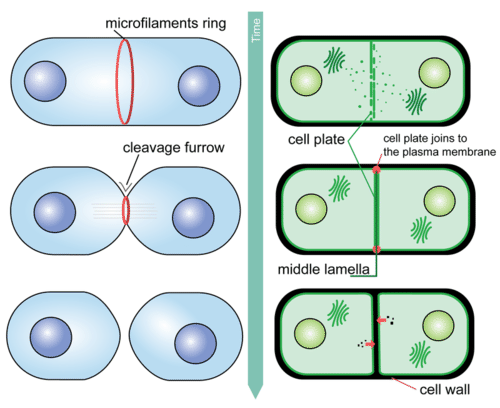 Mitosis and Cytokinesis Read Biology – Stages of Mitosis Worksheet