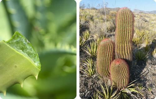 Barrel Cactus Adaptations Aloe Plant And Barrel Cactus