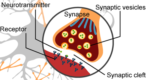 Closeup of synapse during signal transmission